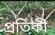মৌকারা ইউনিয়নের ময়ূরায় গাছের সাথে শত্রুতা