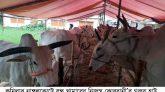 নাঙ্গলকোটে বন্ধু খামারের নিজস্ব কোরবানী'র গরুর হাট